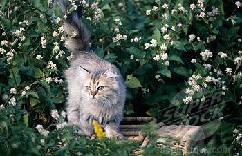 Persian cat Outdoors